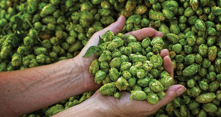 Effects on Beer Taste Hops